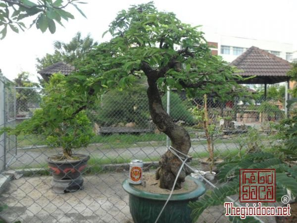 me-lac-bonsai-me-lac  (2).jpg